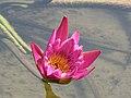 睡蓮 Nymphaea Emily Grant Hutchings -青島中華睡蓮世界 Qingdao International Horticultural Expo, China- (14482379380).jpg