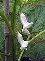 芝麻 Sesamum indicum -香港西貢獅子會自然教育中心 Saikung, Hong Kong- (9237447615).jpg