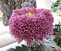 菊花-美艷托桂 Chrysanthemum morifolium 'Gorgeously Cradling Stamens' -香港圓玄學院 Hong Kong Yuen Yuen Institute- (12064615145).jpg