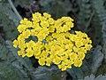 蓍草 Achillea millefolium -墨爾本植物園 Royal Botanic Gardens, Melbourne- (9213339123).jpg