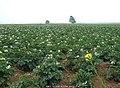 马铃薯田 potato - panoramio.jpg
