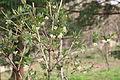 길마가지나무.JPG