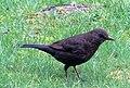 -2019-12-08 Female blackbird (Turdus merula), Trimingham (1).JPG