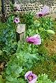 -2020-06-08 Poppy in flower (Papaver somniferum), Trimingham, Norfolk.JPG