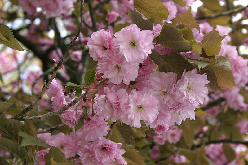 File:- Prunus serrulata 02 -.jpg