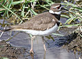 0056 killdeer mother munsel odfw (5805673423).jpg