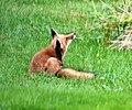 010 Red Fox (8057818108).jpg