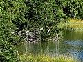 07 Egrets Beaufort SC 6387 (12367262635).jpg