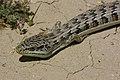 09-032 Alligator Lizard (Elegaria multicarinata) slo co, ca -2 (3481413781).jpg