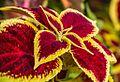 1024 Blumennessel. Coleus Blumei Hybride-1874.jpg