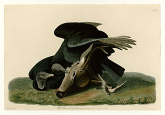 Black vulture - Black vulture pair feeding on a mule deer. Plate 106 from The Birds of America by John James Audubon.