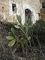 107 Figuera de moro davant un casalot en ruïnes a Marmellar.JPG