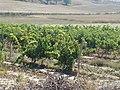 10 Cigales Ermita Viloria viñas lou.JPG