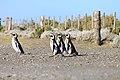 148 - Cap Virgenes - Manchot de Magellan - Janvier 2010.JPG