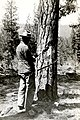 1920. Spotter identifies ponderosa pine with western pine beetle needing control treatment. The trees were blazed to the sapwood. Serial number of tree (C 60) is put on blaze with a lumber crayon. Jenny Creek, Oregon. (33224744340).jpg