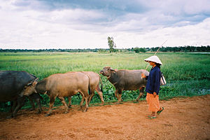 Agriculture in Thailand - Herding water buffalo, Chaiyaphum Province.