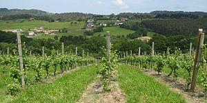 Txakoli - Txakoli vines near Erandio