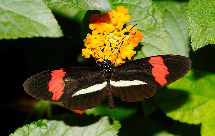 2011-08-08 15-14-11-papillon-hunawihr.jpg