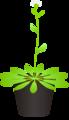 201108 Arabidopsis thaliana.png