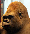 2013-03 Naturkundemuseum Taxidermie Gorilla Bobby anagoria.JPG