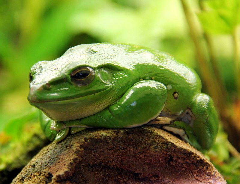 2013-10 Chinese tree frog
