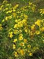 20130712Jacobaea vulgaris2.jpg