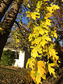 2014-11-02 15 42 05 Silver Maple foliage during autumn along Glen Mawr Drive in Ewing, New Jersey.JPG