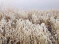 2014-12-17 13 46 03 Rime from freezing fog on cheat grass in Elko, Nevada.JPG