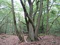 20140726Carpinus betulus2.jpg