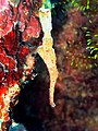2014 11 Moalboal 68 robust ghost pipefish (15862902190).jpg