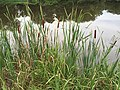 2015-08-07 18 31 01 Cattails along the edge of Franklin Farm Pond in Oak Hill, Virginia.jpg