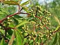 20150606Parthenocissus quinquefolia1.jpg