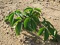 20150821Parthenocissus quinquefolia1.jpg