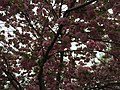 2016-04-22 13 03 05 'Kanzan' Japanese Cherry flowers along Dairy Lou Drive at White Barn Lane in the Franklin Farm section of Oak Hill, Fairfax County, Virginia.jpg
