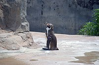 20170606 Grape the Humboldt penguin at Tobu zoo.jpg