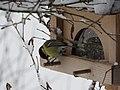 2018-01-21 (105) Parus major (great tit) on a bird table im Haltgraben, Frankenfels.jpg