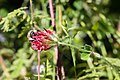 2019-07-24 Trifolium-fragiferum-flower-head.jpg