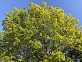 2020-05-10 19 03 22 View up into the canopy of a Pin Oak leafing out in spring along Ladybank Lane in the Chantilly Highlands section of Oak Hill, Fairfax County, Virginia.jpg