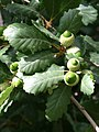 2516-Quercus faginea-Arb.Brno-8.12.JPG