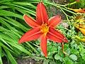 2817 - Innsbruck - Hofgarten - Flower and Syrphidae.JPG