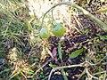2 Green Pommedores Solanum lycopersicum.jpg