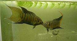 2 male paradise fishes fight.JPG