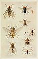 55-Indian-Insect-Life - Harold Maxwell-Lefroy - Sarcophagidae Muscidae Oestridae-and-Puripara.jpg
