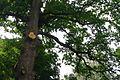 71-220-5070 Koshevy Oak SAM 6580.jpg