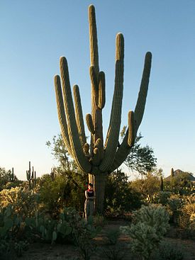 A-Very-Old-Saguaro-right-outside-the-Saguaro-National-Park-Arizona.jpg