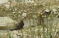 AIMG 4743 Reußenstein gelbe Vögel badend.jpg