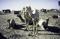 ASC Leiden - van Achterberg Collection - 1 - 216 - Des chameaux et des zébus sur le sable auprès de maisons rectangulaires de briques de glaise et des tentes - Léré, Tombouctou, Mali - 9-29 novembre 1996.tiff
