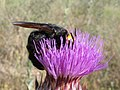 AVISPÓN (Megascolia maculata flavifrons) hembra ♀ (5840721317).jpg