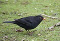 A Blackbird Looking For Worms At Lotherton Hall - geograph.org.uk - 1169804.jpg