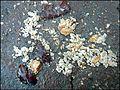 A Lille Marrons d'Inde toxiques écrasés toxic Common Horse Chestnut 02.jpg
